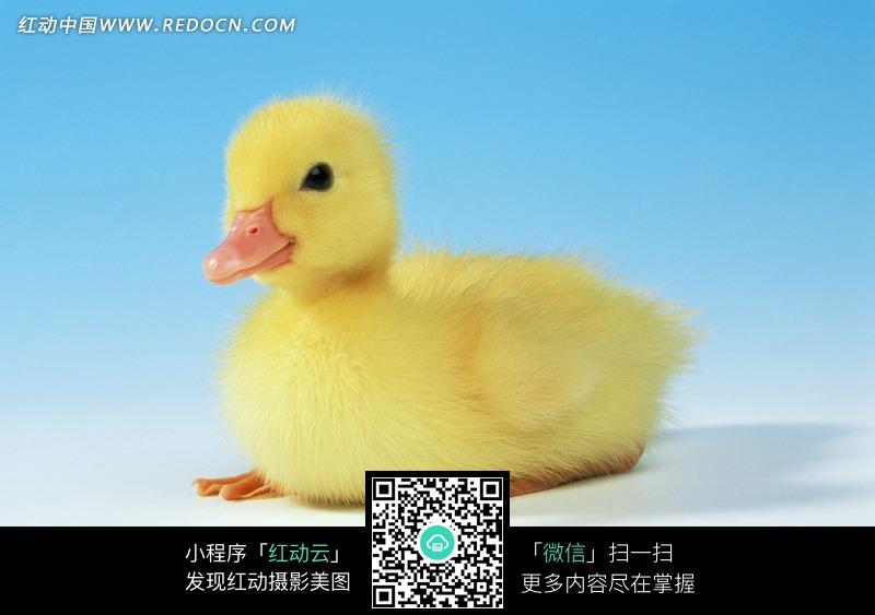 一只可爱的小鸭子图片_陆地动物图片