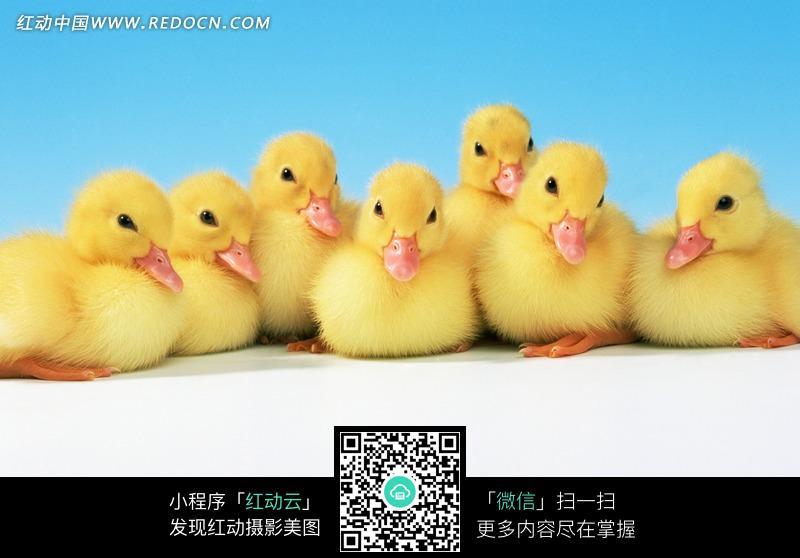 图片素材 生物世界 陆地动物 一排刚出生的小鸭  请您分享: 素材描述