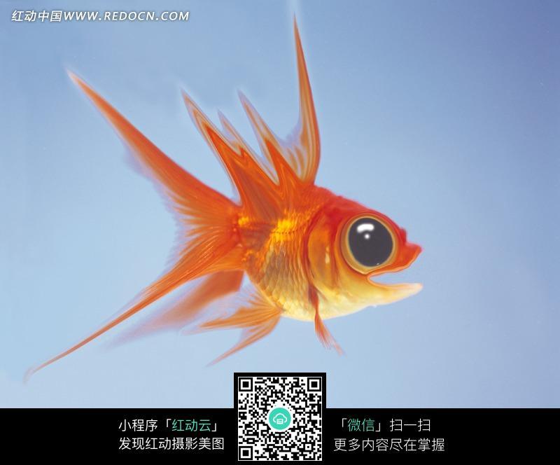 免费素材 图片素材 生物世界 陆地动物 张着嘴巴睁大眼睛的红色金鱼