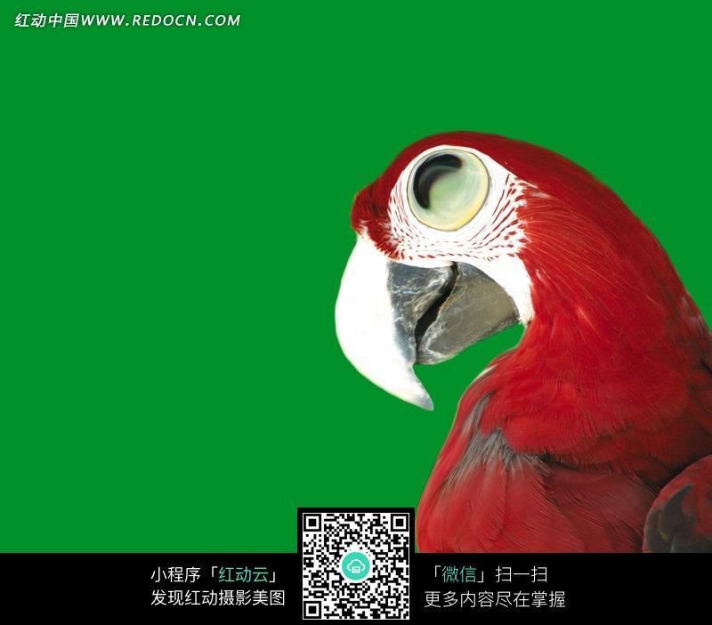 一只微笑的鹦鹉创意图片图片