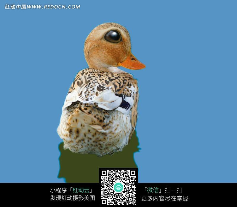 哈哈镜 水面 大头 大眼 睛翘嘴 花色小鸭子 创意变形动物 动物 动物