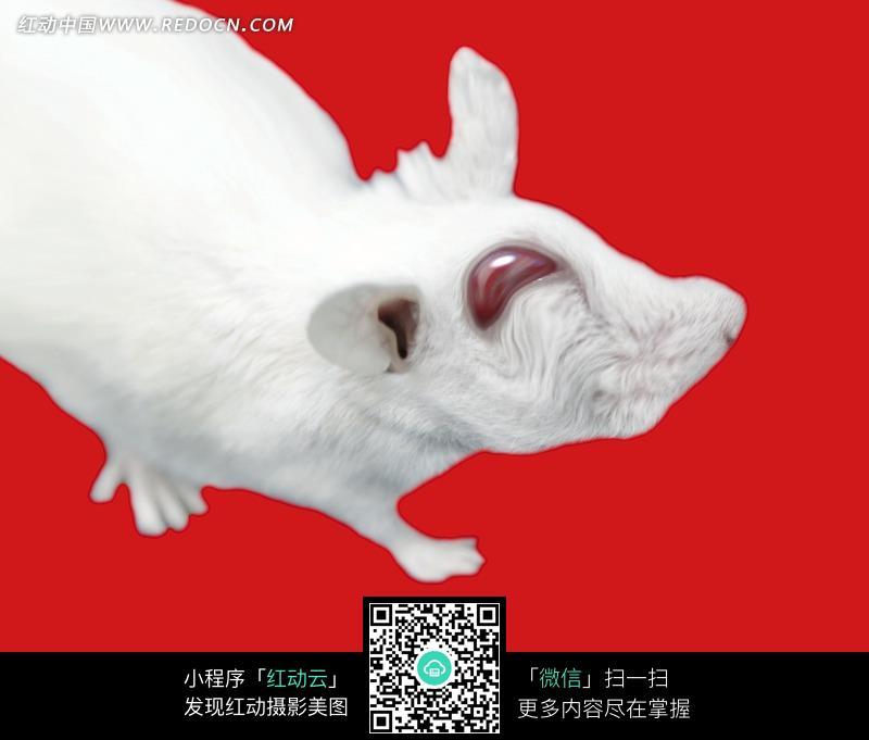 变形的红色眼睛的白色动物图片