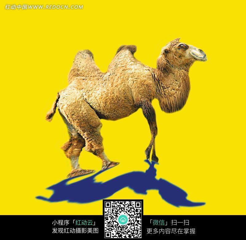 细腿骆驼ps液化特效_陆地动物图片