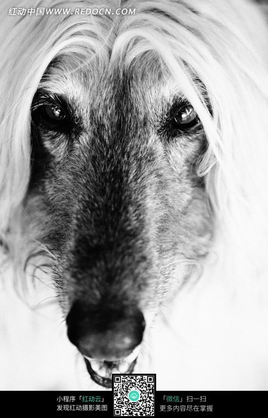 免费素材 图片素材 生物世界 陆地动物 长着长毛的尖嘴的狗的头部特写