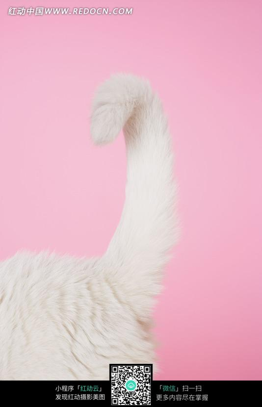 一只白猫的尾巴图片_陆地动物图片