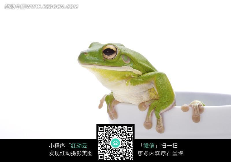 爬出白色杯子的青蛙图片_陆地动物图片