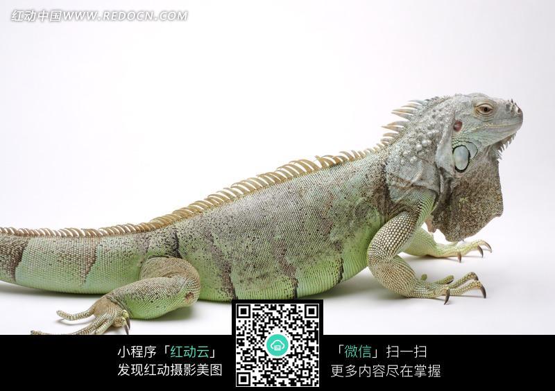 绿色蜥蜴特写_陆地动物图片