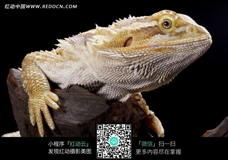爬在木头上的蜥蜴_陆地动物图片