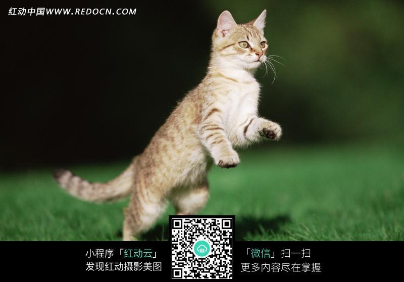 草地上站起的猫咪_陆地动物图片