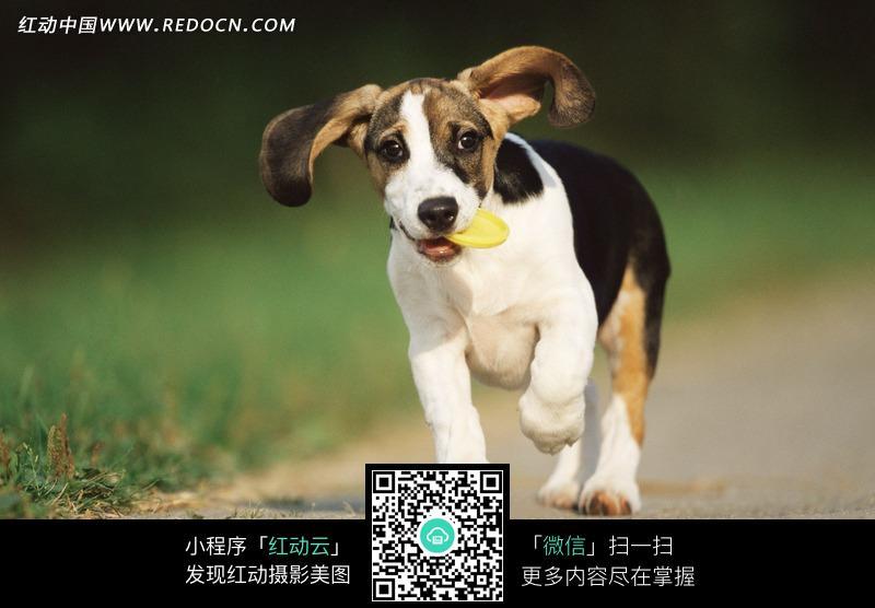 叼着黄色飞盘的黑白小狗图片_陆地动物图片