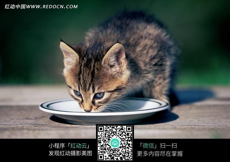 碟子里吃东西的小猫图片_陆地动物图片