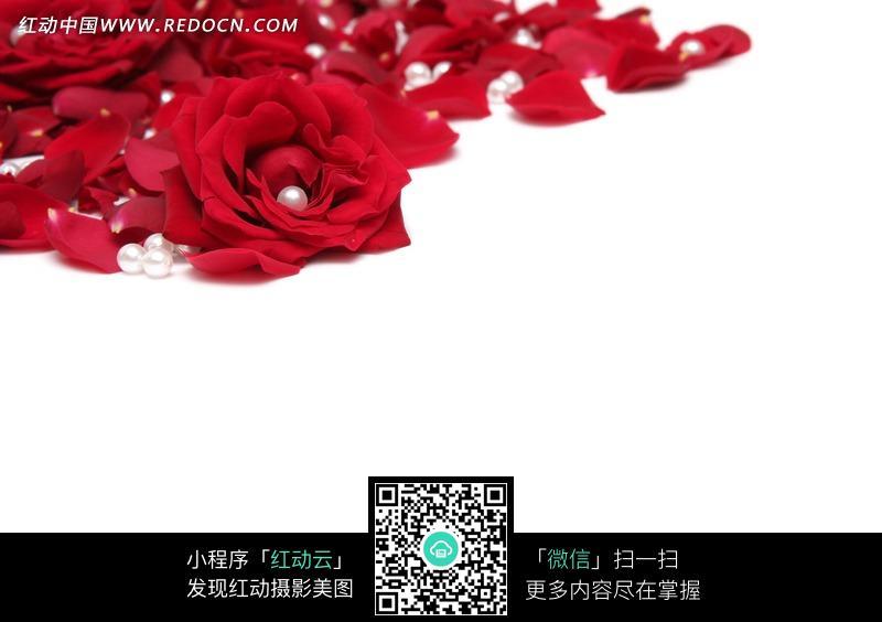 红色玫瑰花花瓣和珍珠图片