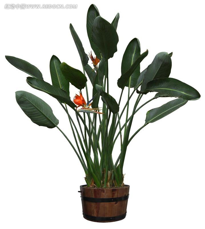 天堂鸟植物