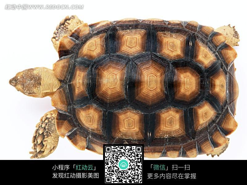一只背部有六边形花纹的乌龟