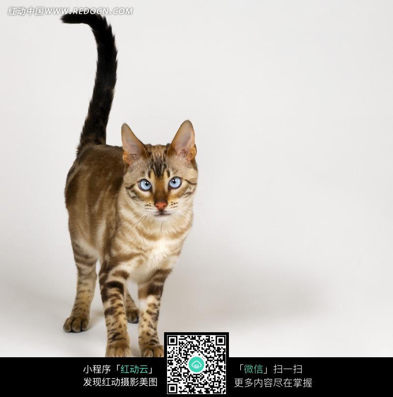 竖起尾巴的埃及猫