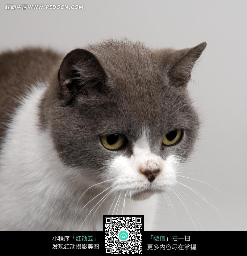 一只灰色的脖子白色的花猫