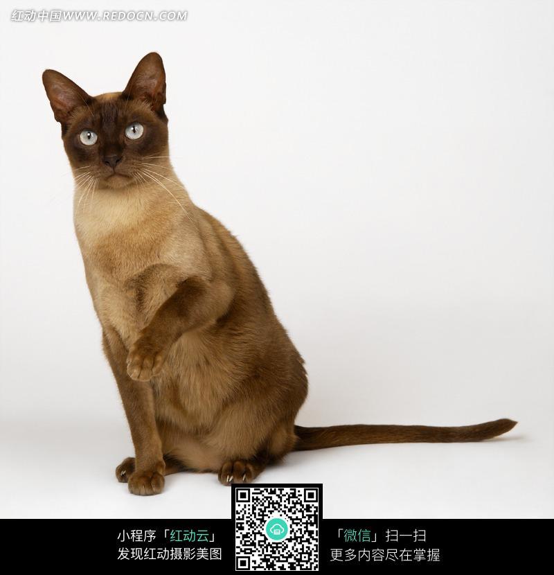 蹲着抬起爪子的暹罗猫图片