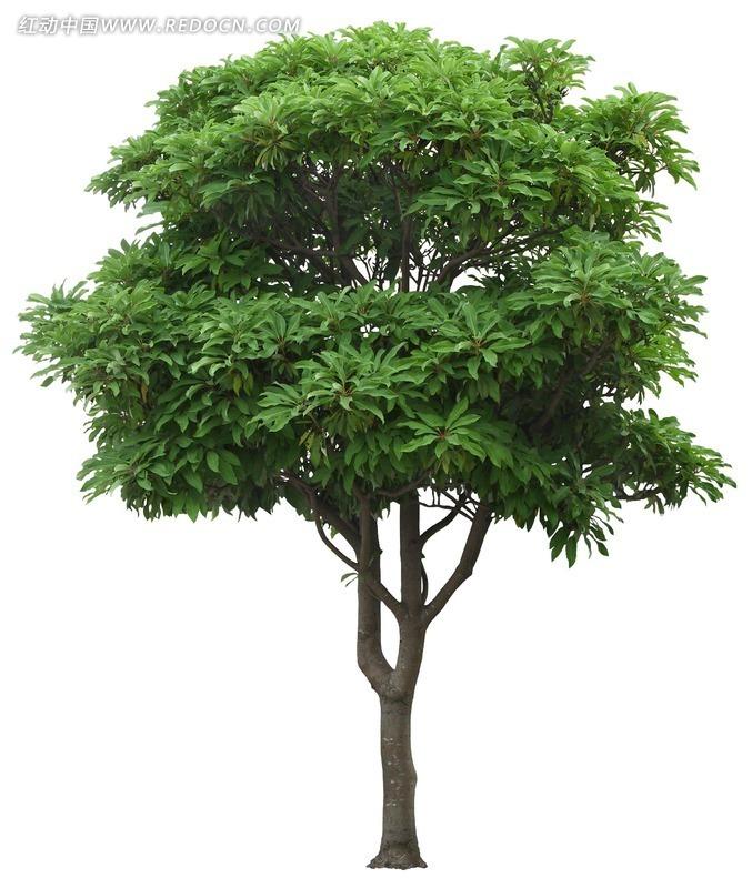 绿色芒果树psd素材