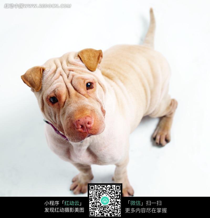 免费素材 图片素材 生物世界 陆地动物 盯着镜头的沙皮狗