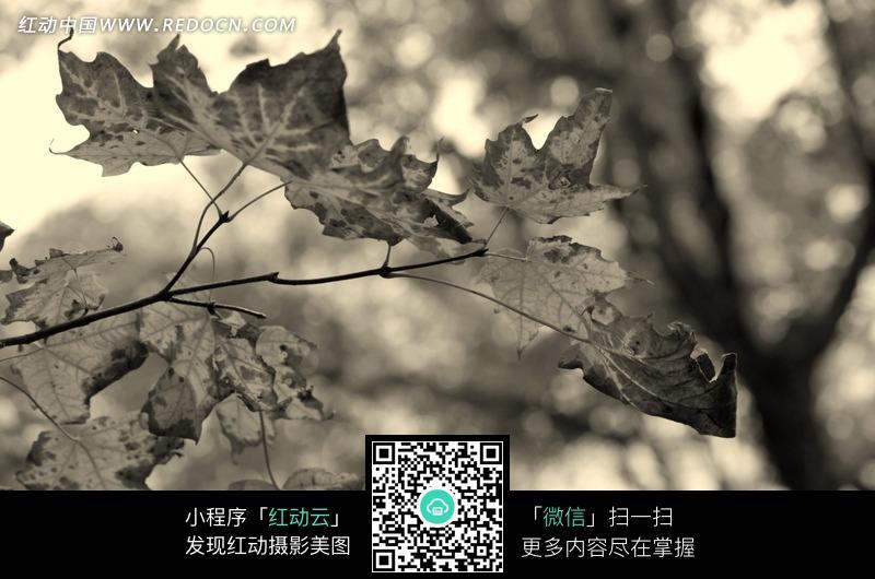 树枝上的枫叶黑白图片