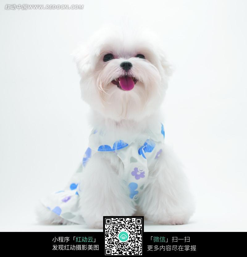 穿着衣服可爱的小白狗图片