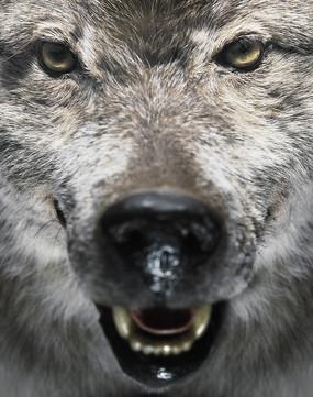 手绘呲牙咧嘴的大灰狼头像图片