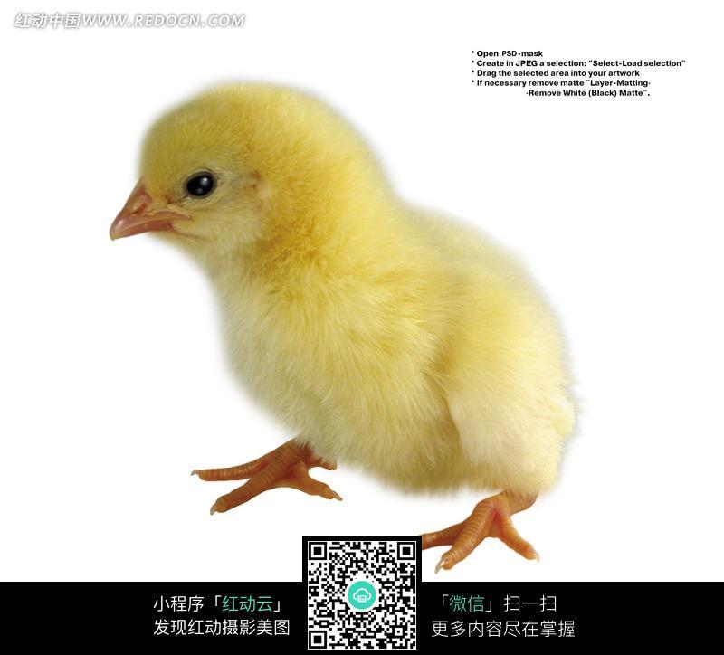 黄色片和动物干_免费素材 图片素材 生物世界 陆地动物 一只黄色小鸡图片  请您分享