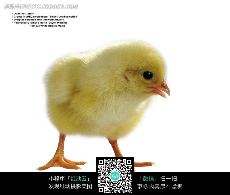 免费素材 图片素材 生物世界 陆地动物 一只黄色小鸡  请您分享: 素材