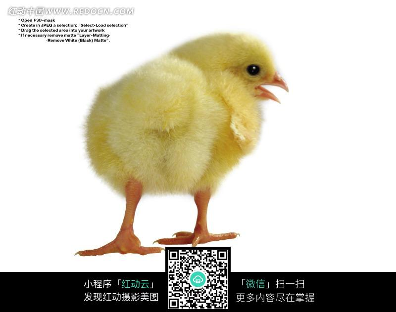 一只可爱的小鸡仔摄影图片