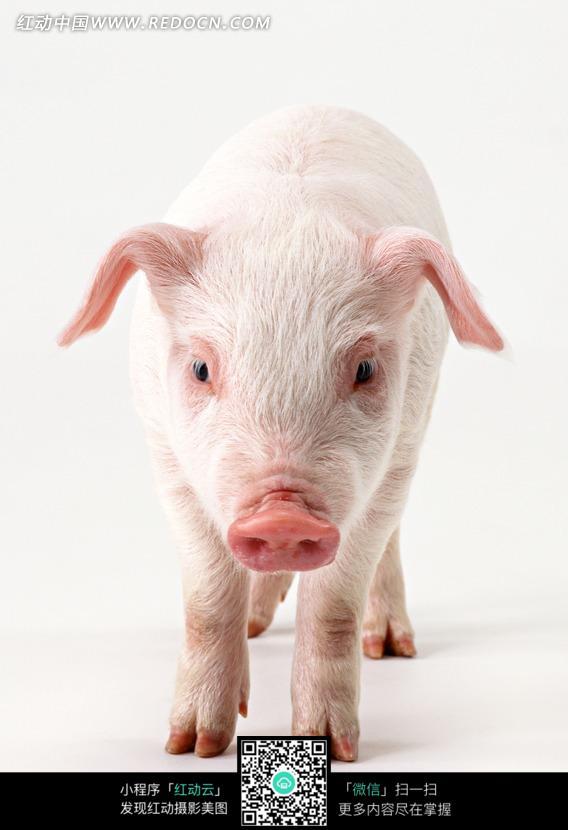 一只 小猪 动物 家禽 摄影图片 jpg 动物图片 动物照片