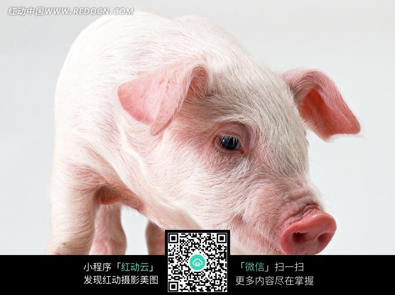 小猪猪头特写