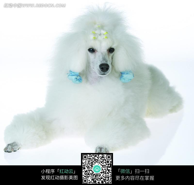 免费素材 图片素材 生物世界 陆地动物 前腿张开趴着的头戴饰品的白色