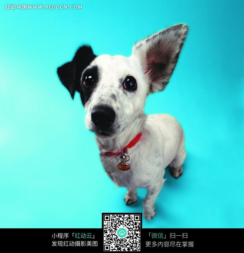 一只耳朵是黑色的小狗_陆地动物图片