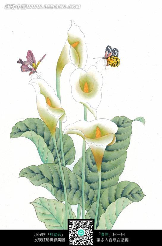 中国工笔花鸟 马蹄莲和蝴蝶图片免费下载 红动网