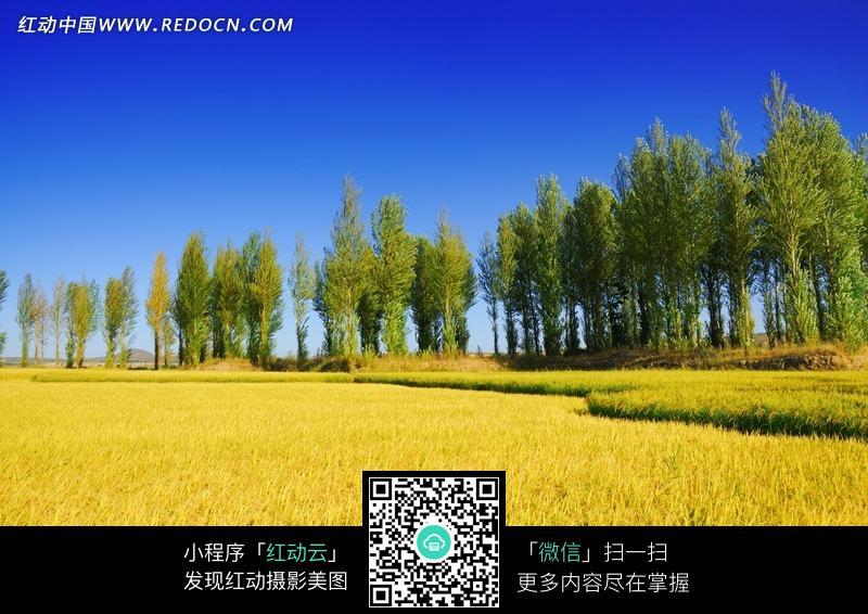 树林 蓝天 麦田 农作物 田间小路 自然风景 自然风光 风景图片 摄影
