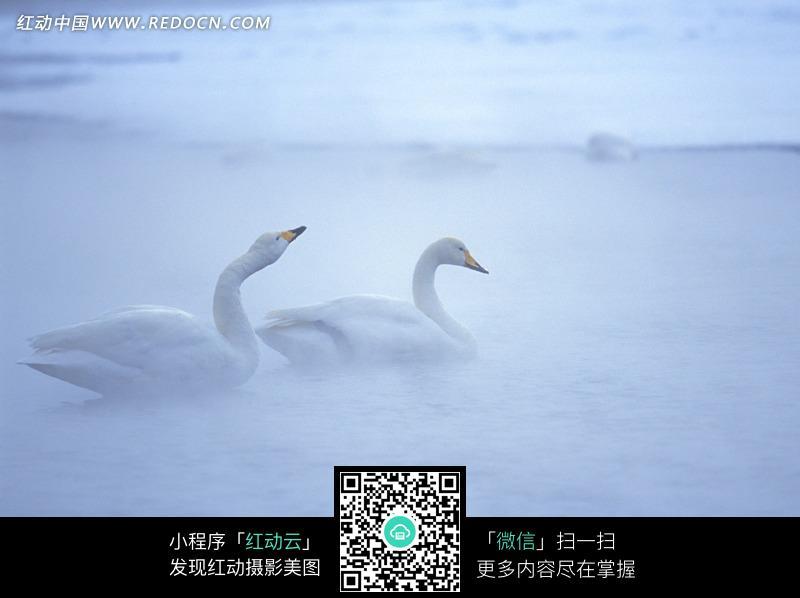 两只白天鹅图片 自然风景图片图片