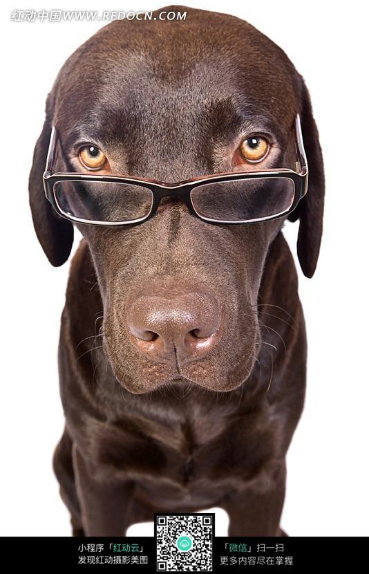 戴眼镜的狗狗图片_陆地动物图片