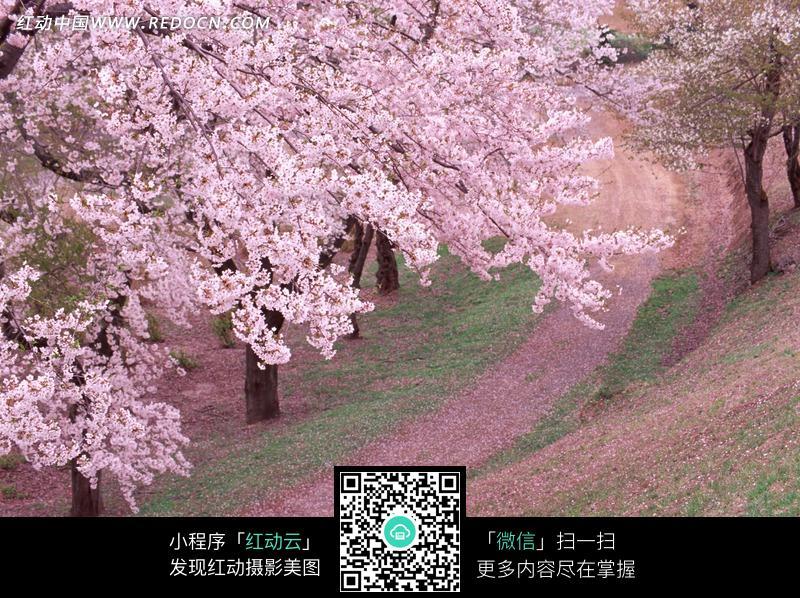 山坡下盛开的桃花树