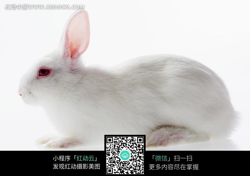 可爱的小白兔素材图片
