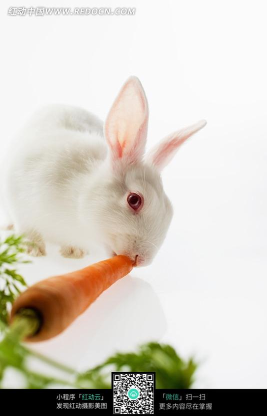 咬着胡萝卜的小白兔图片