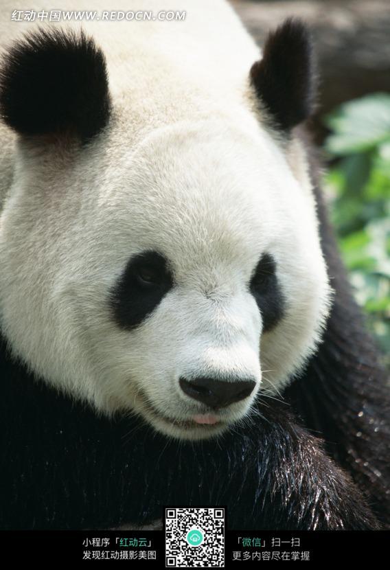 可爱的大熊猫图片