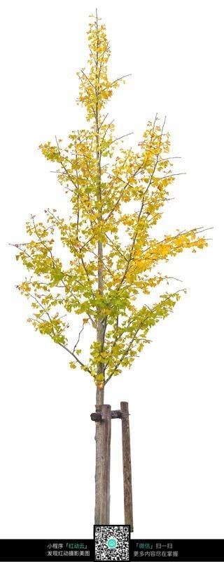 一棵小银杏树图片