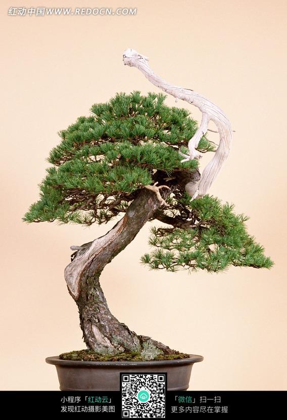 盆栽观赏树图片