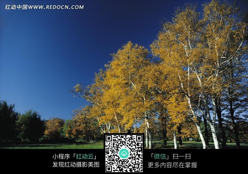 秋天天空下的金色的树林和绿色草地