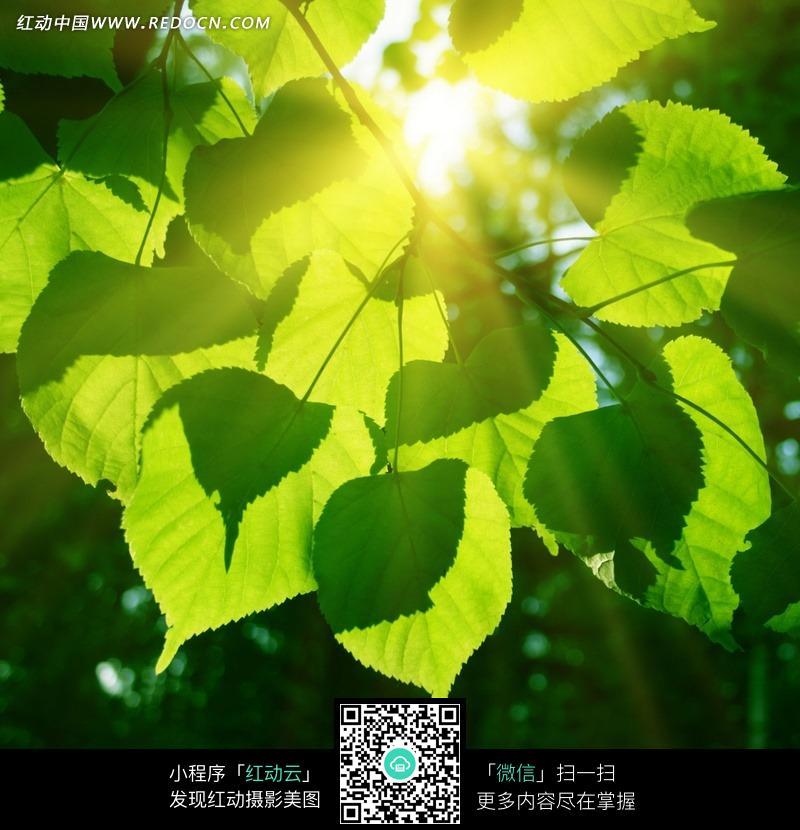 阳光照射的绿色树叶图片_陆地动物图片