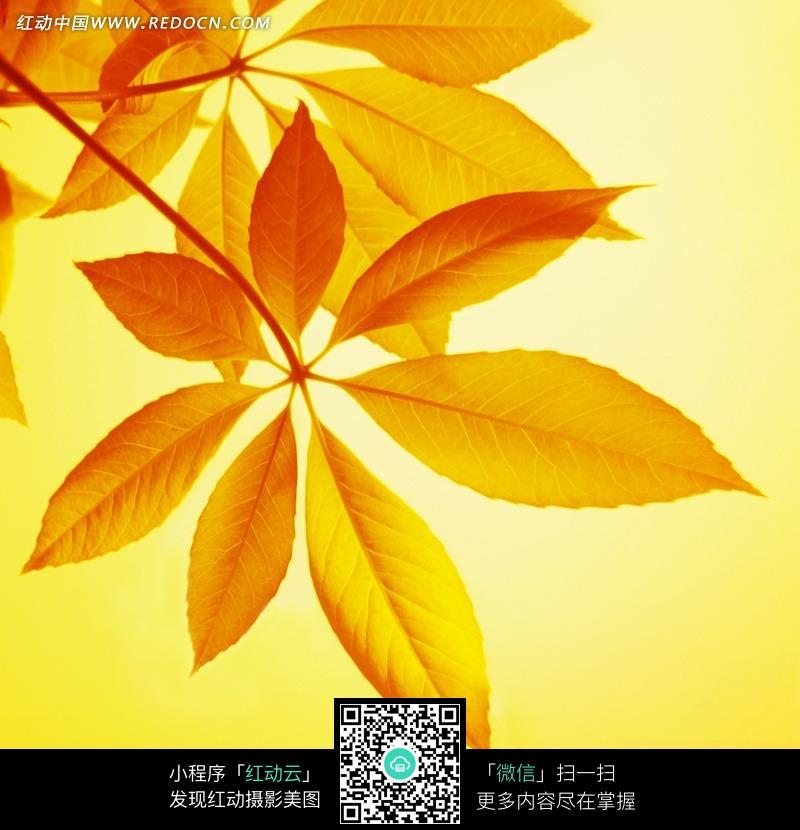 免费素材 图片素材 生物世界 陆地动物 掌状七出的橙色叶子