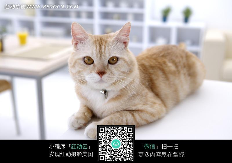 趴在白色桌面上的宠物猫图片