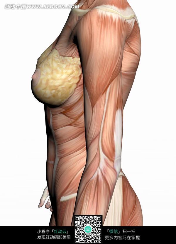 女性侧面人体肌肉结构图解图片