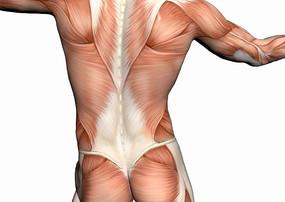 男性上半身背部肌肉图