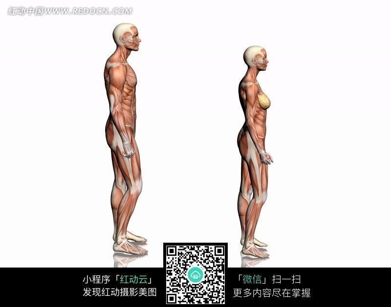 侧面 人体侧面结构 人体结构图 肌肉结构 骨骼结构 男性 女性 人物素